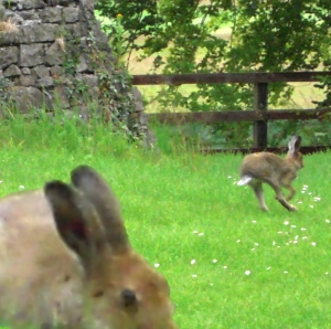 2hares