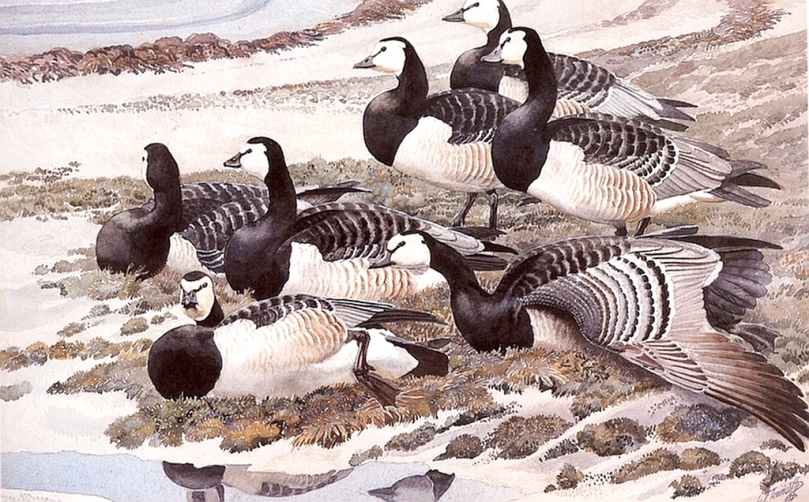 Barnacle Geese portrayed on canvas by Charles Tunnicliffe