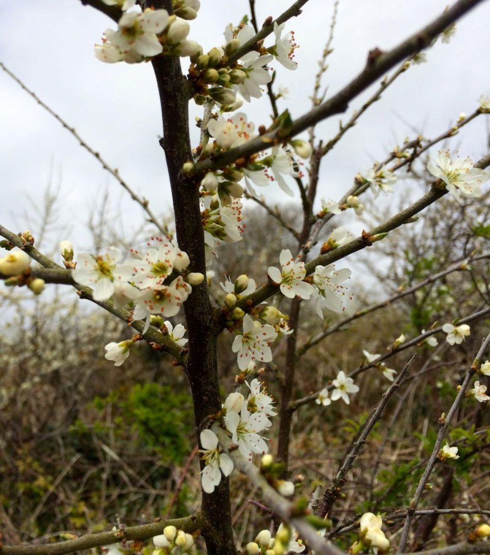 hawthorn or whitethorn