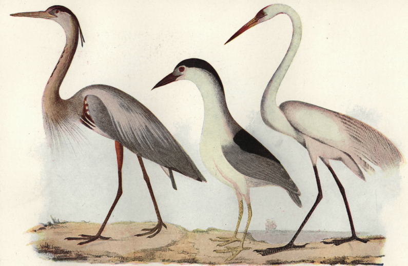 The Heron Family - a 19th century print