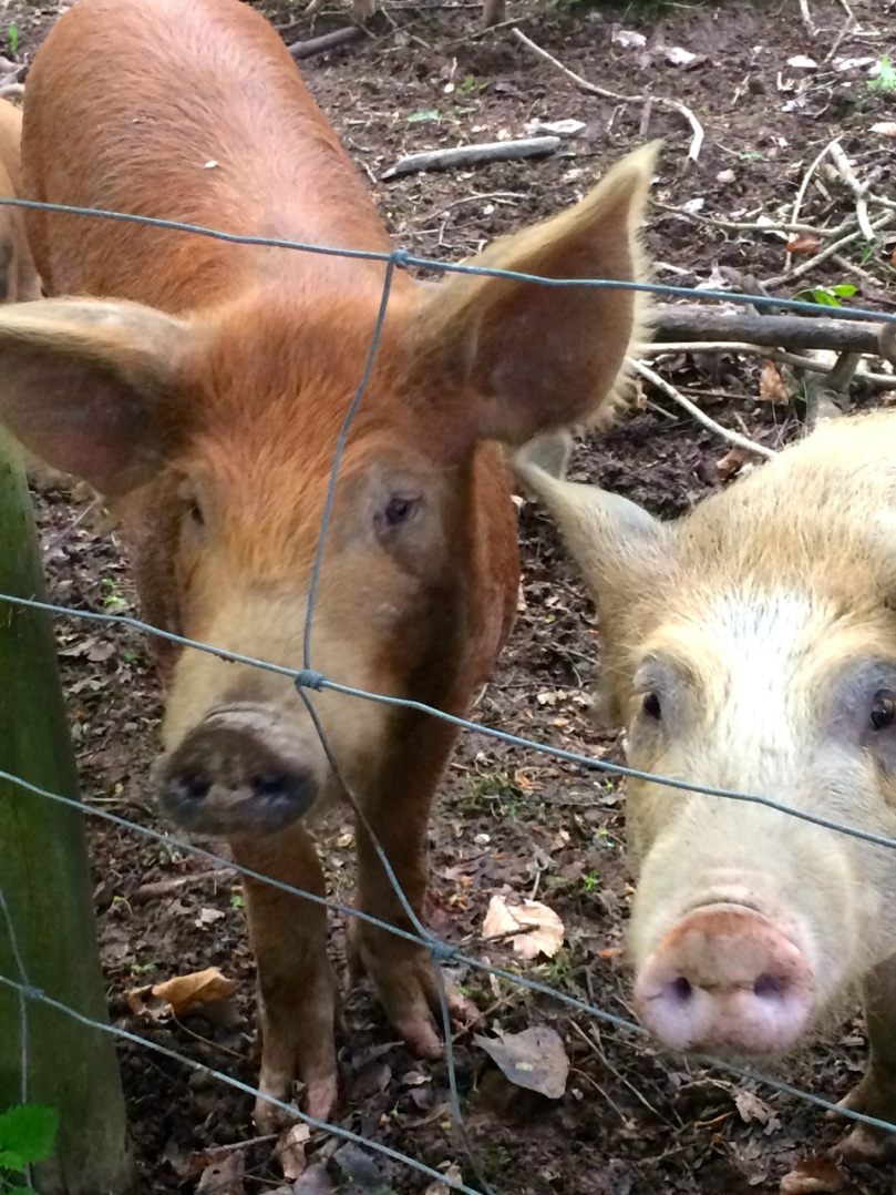 Happy Ballymaloe pigs