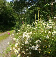 oxeye daisies and foxglove