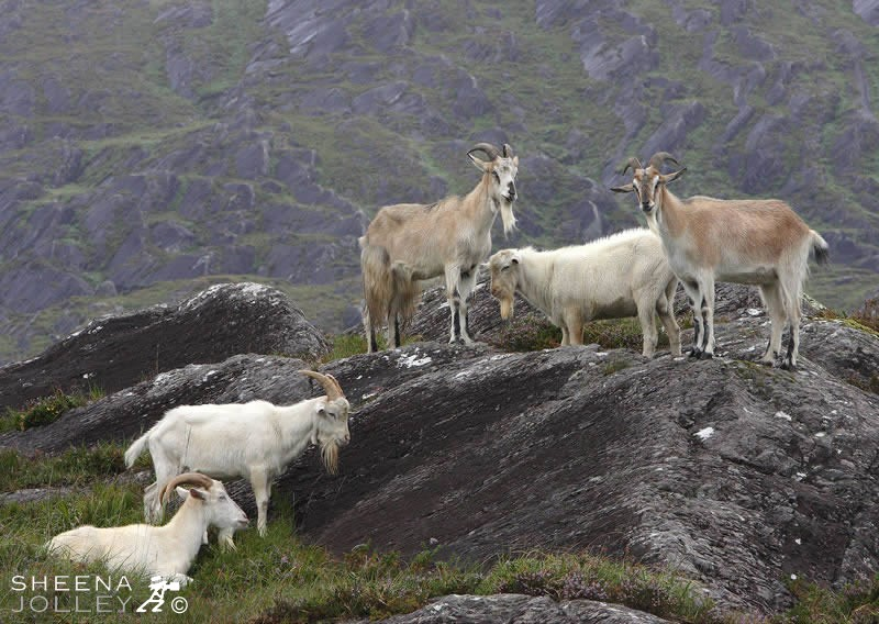 Sheena Jolley's superb study of Kerry Goats