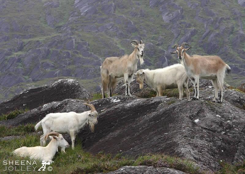 Sheena Jolley's superb study of Kerry Goats