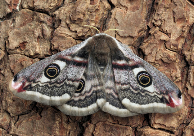 Aoifa - the Emperor Moth