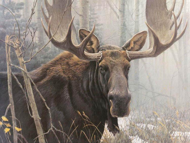 Closest relation: Canadian Bull Moose (Robert Bateman)