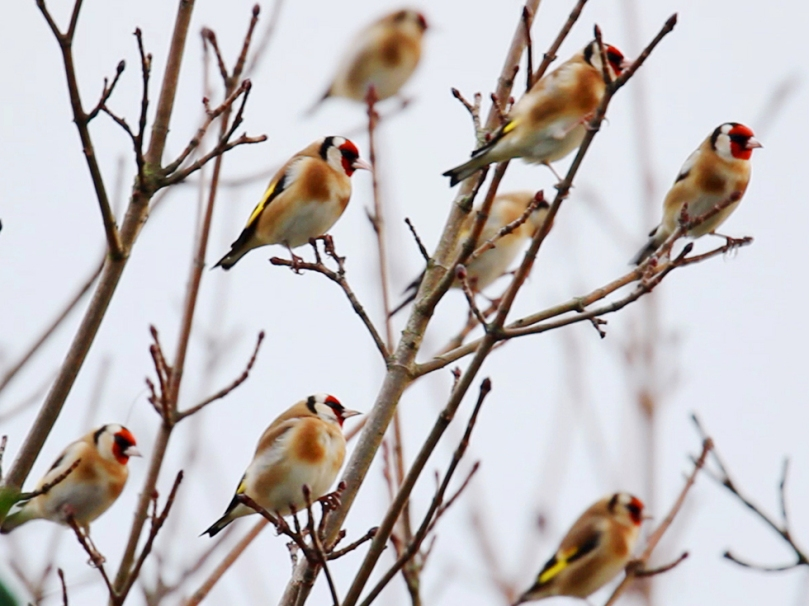 Charm of Goldfinches - photo by Maurice Baker