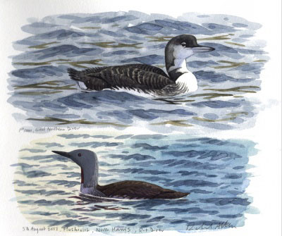 Loons (sketches by Richard Allen)