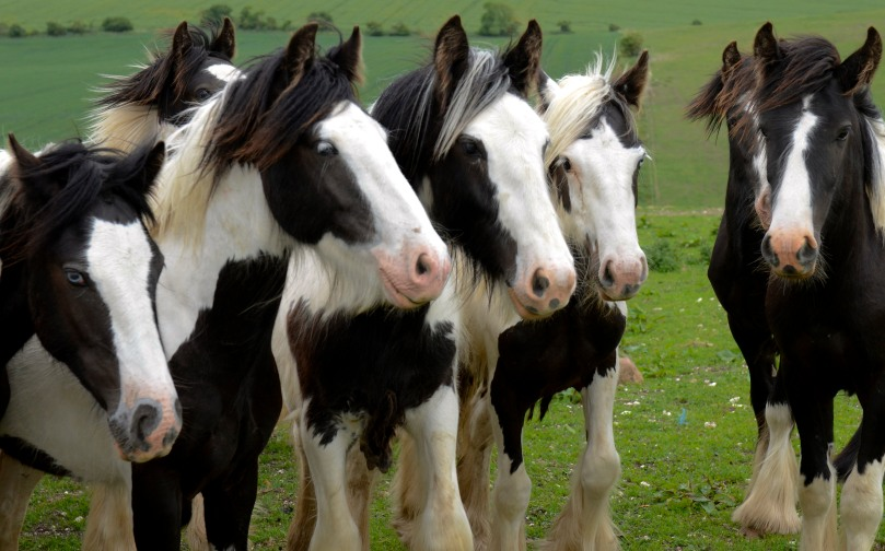The 'Gypsy Horse' is a light draft cob