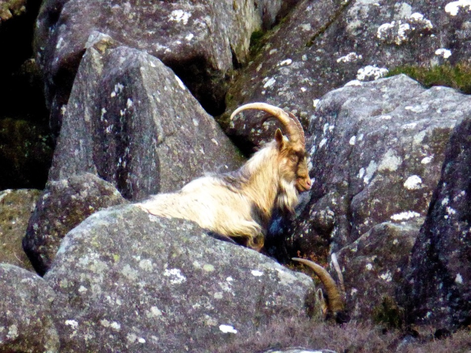 There are wild goats on the cliffs too