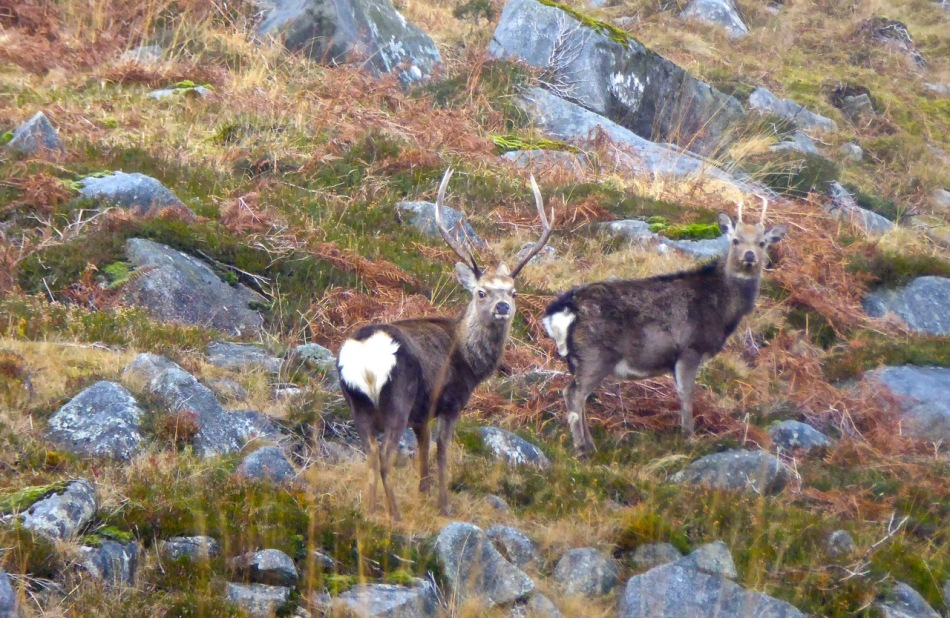 Stag and pricket