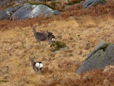 Sika hinds. Note the heart-shaped rumps.