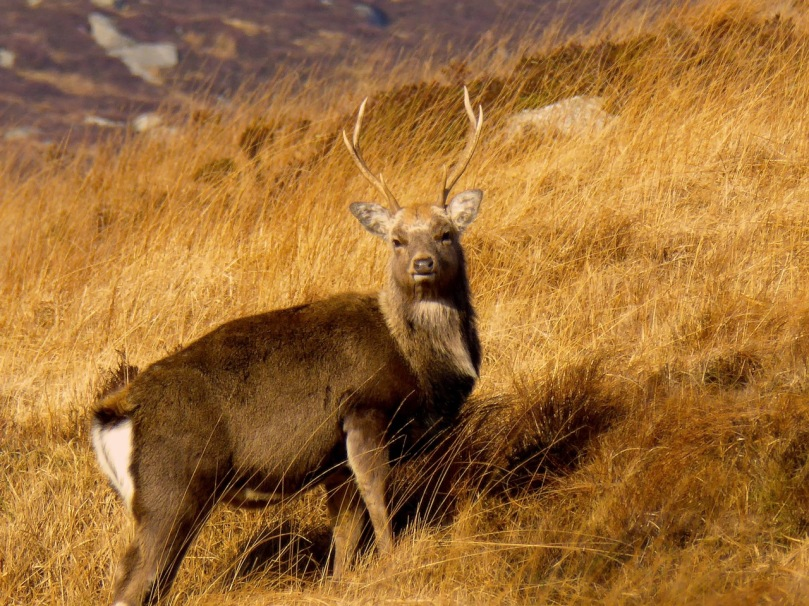 Young Sika stag in the Glendalough Highlands