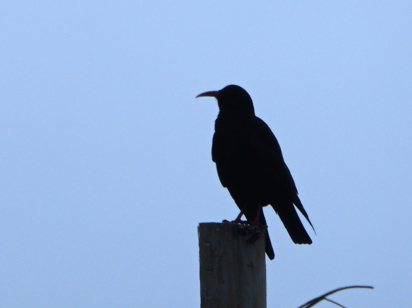 The Choughs are always with us!
