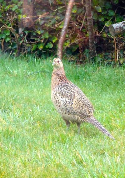 Ms Pheasant