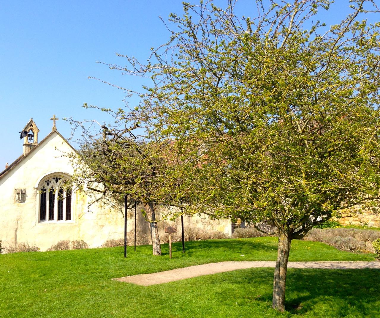 Glastonbury's Holy Thorn, planted by Joseph of Arithamea