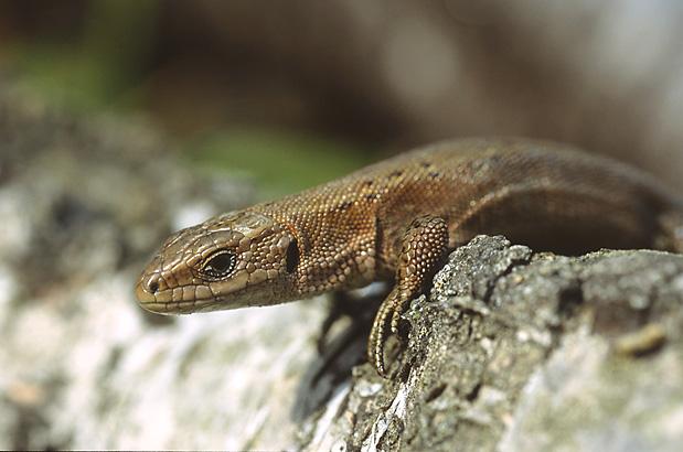 Common Lizard (Marek Szczepanek)