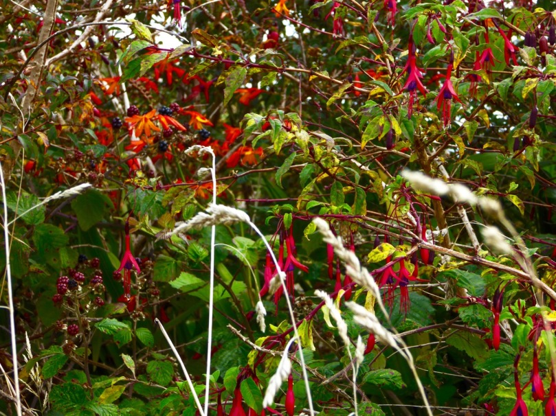 Fuchsia Montbretia and blackberries