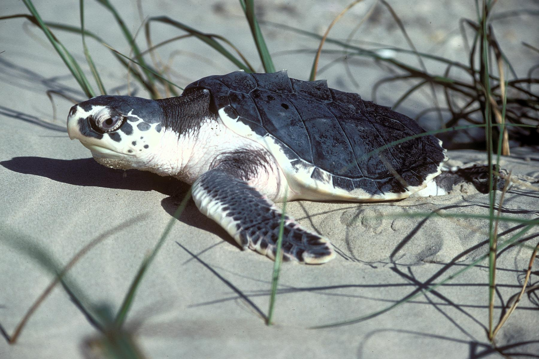 Kemps turtle