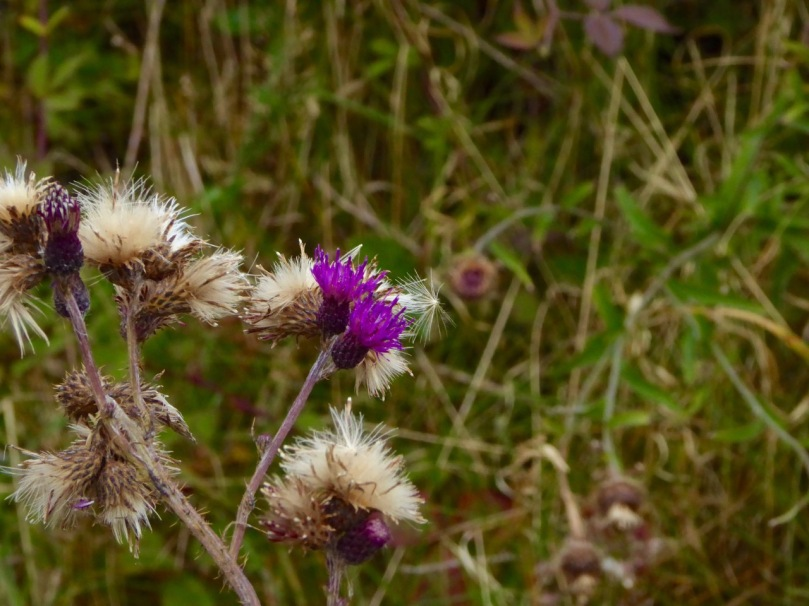 Thistles and seedheads