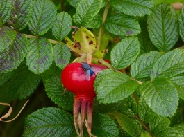 large rose hip with fly