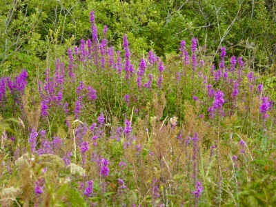Loosestrife spot the butterfly