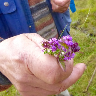 Not heather after all - wild thyme!