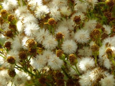Seedhead mass