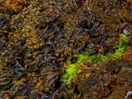 Seaweed at Ballylickey 2