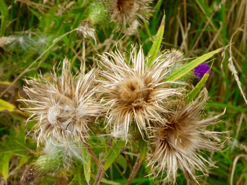thistle seedheads
