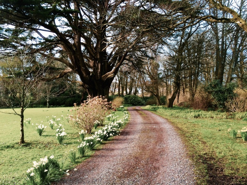 Drishane house driveway in spring