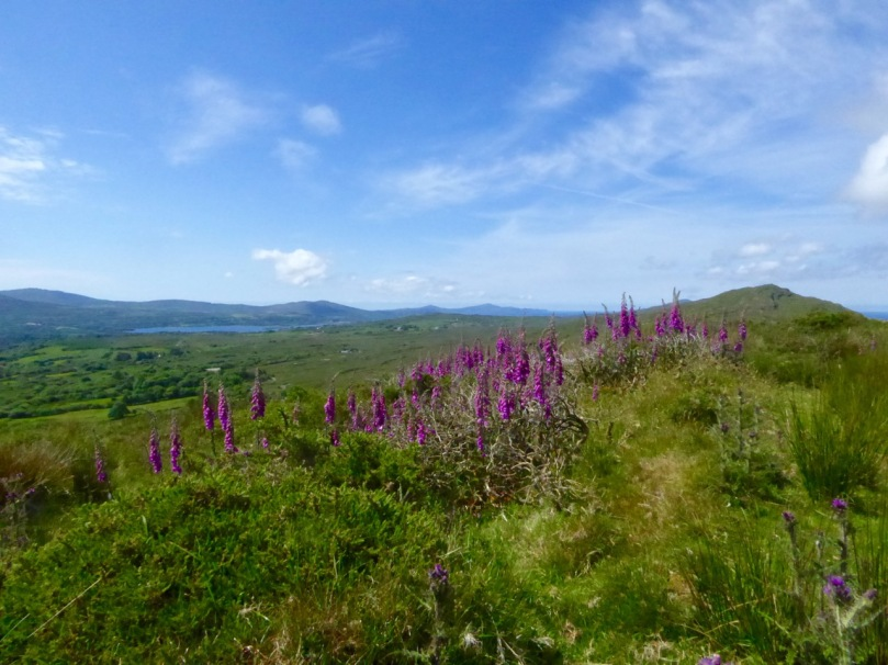 In summer the foxgloves are everywhere