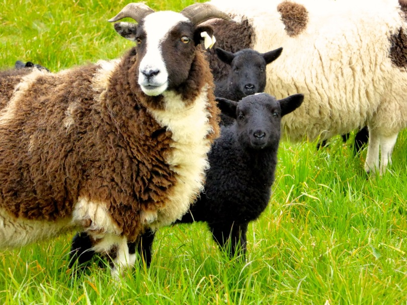 We saw these Jacob sheep on the slopes of Mount Corrin