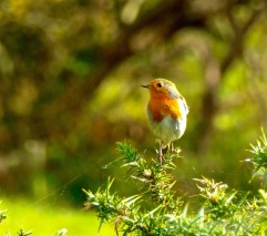 Robin on gorse