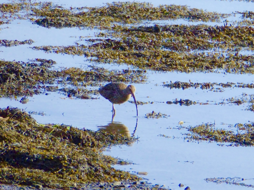 curlew title