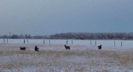 Deer by the pump jack
