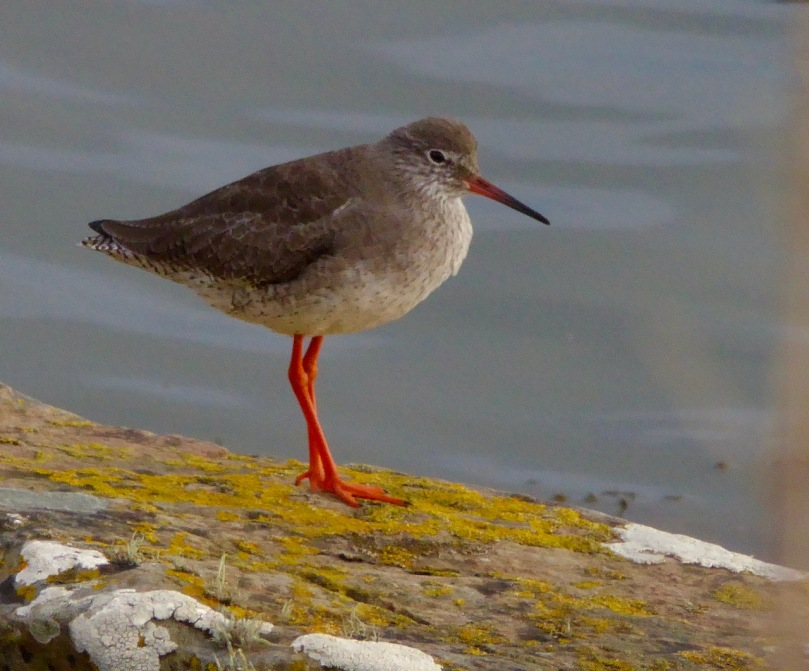 Redshanks 2