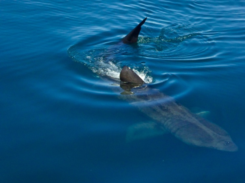 Basking shark en route to Cape Clear