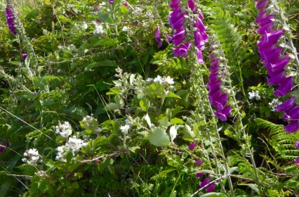 brambles and foxglove