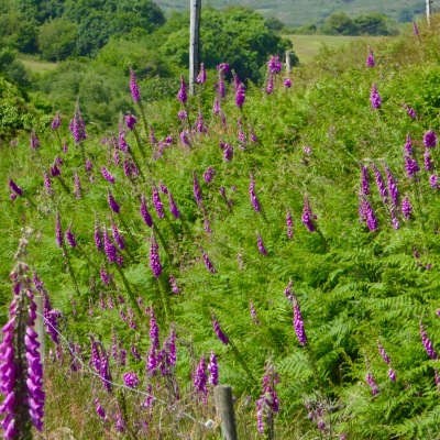 foxglove hedge 2