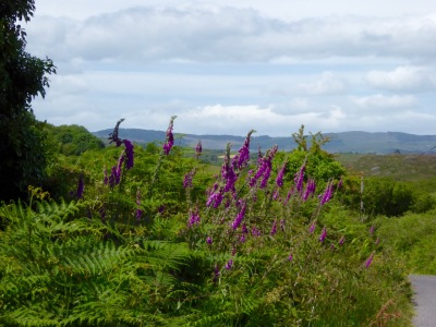 Foxglove hedge