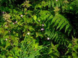 Herb Robert among the nettles