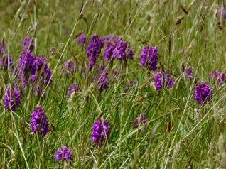 Marsh orchids 2