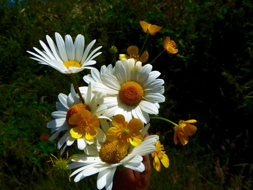 oxeye daisies and buttercups darker