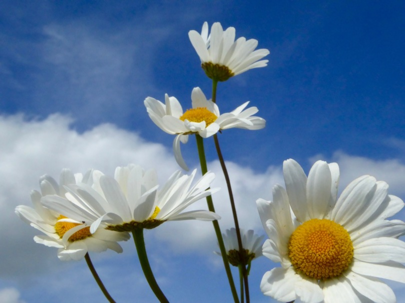oxeye daisies blue sky