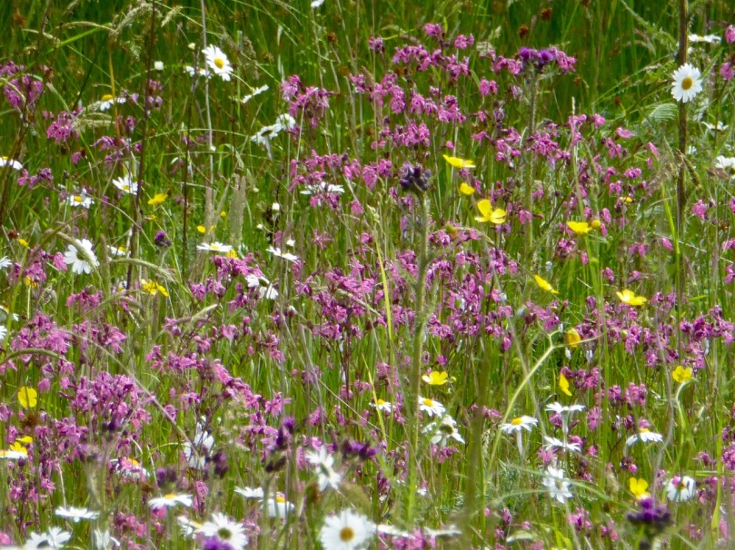 ragged robin and oxeye daisies