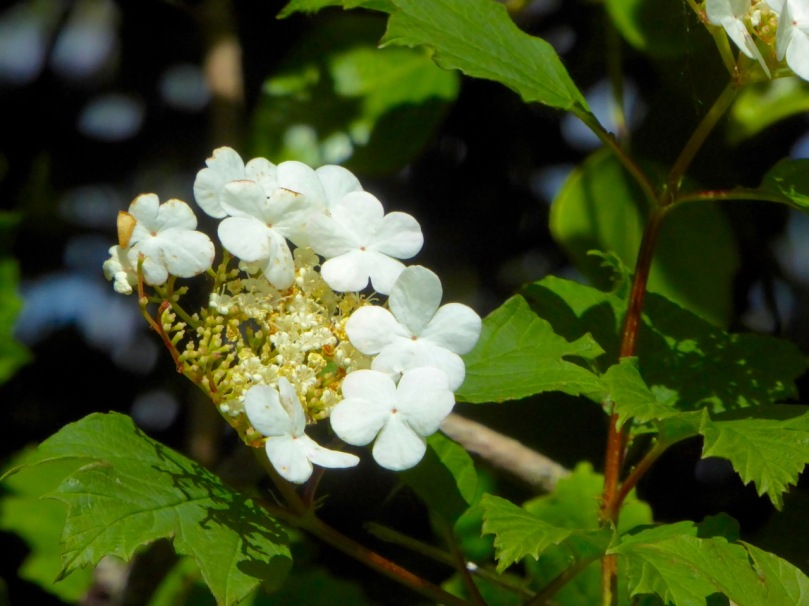 Guelder Rose Flower, June