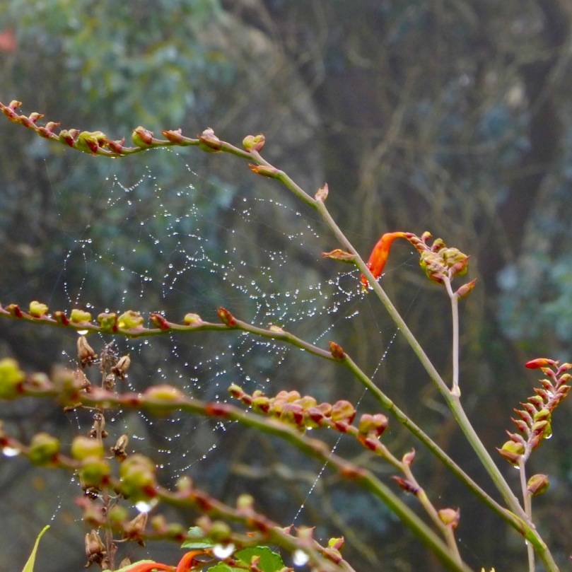 Cobweb on Montbretia