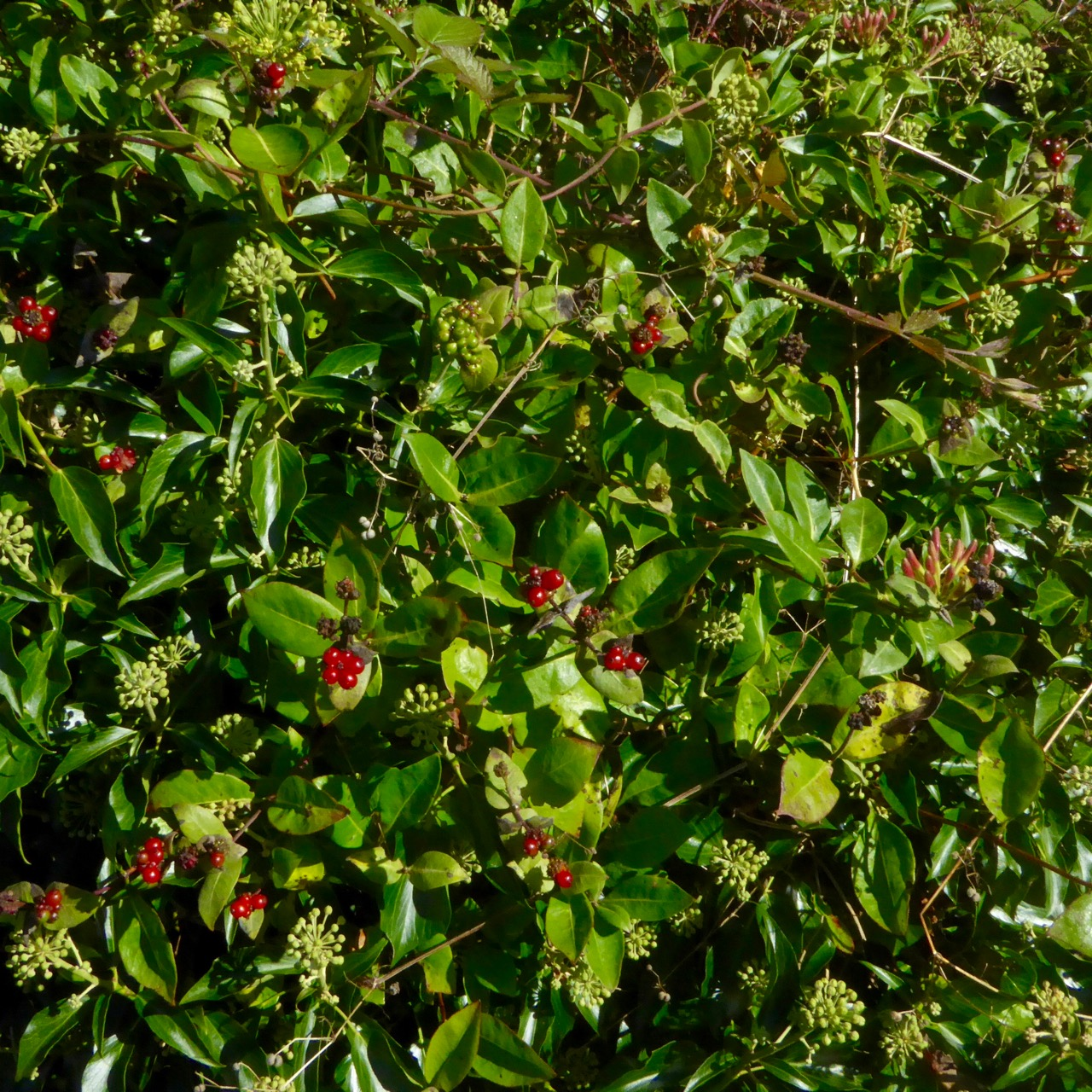 holly close to flowering
