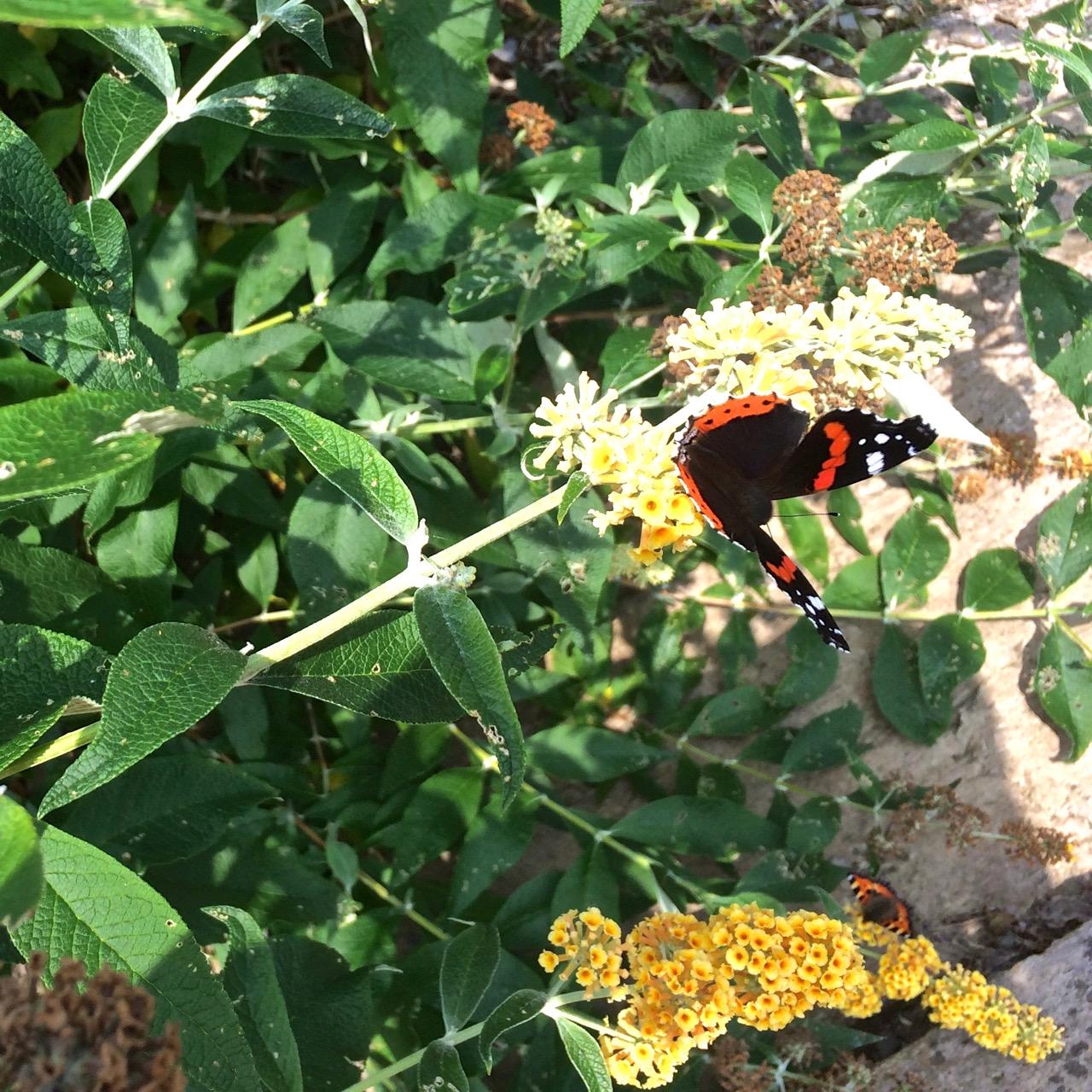 Red admiral at Helen's Garden